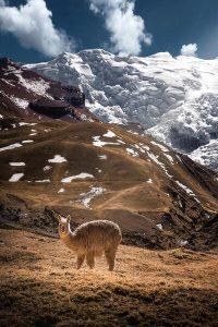 Alpaca con sfondo di montagne innevate: foto di Trace Hudson da Pexels